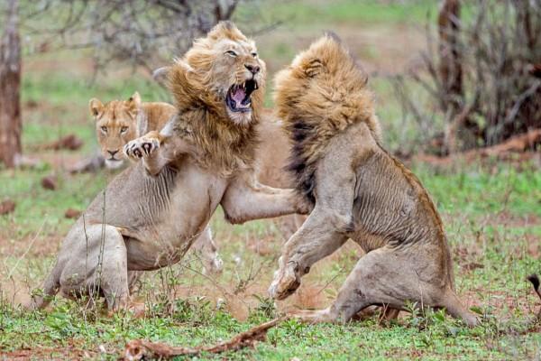 Επική μάχη λιονταριών για τα μάτια μιας... λέαινας