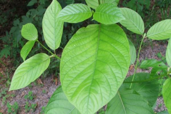 Το σωτήριο φυτό για την απεξάρτηση από τα ναρκωτικά