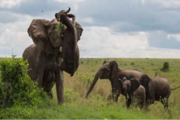 Βούβαλος επιτίθεται σε μικρό ελεφαντάκι. Δείτε την οργισμένη αντίδραση της μάνας του!