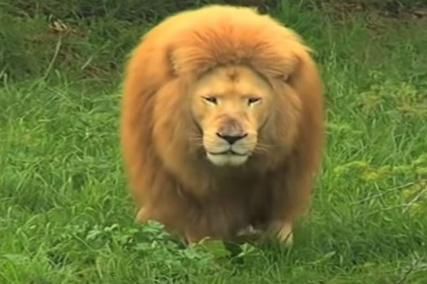 Αυτό το λιοντάρι κάνει κάτι μοναδικό - Το αποτέλεσμα; 5.000.000 προβολές στο διαδίκτυο