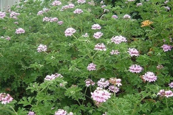 Λουκουμόχορτο ή Μοσχομολόχα - Το θαυματουργό φυτό για την υγεία