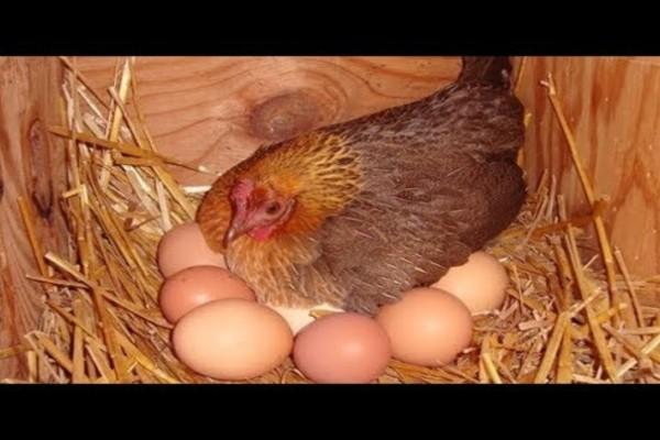Το μυστικό της γιαγιάς για να γεννάνε ασταμάτητα οι κότες σας αυγά - Εγγυημένα αποτελέσματα