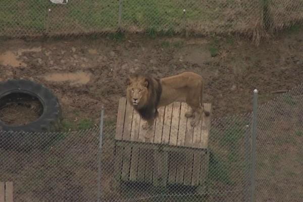 Στο κλουβί ενός λιονταριού βρέθηκε μια μπάλα - Όταν μια φύλακας πλησίασε για να την πάρει...