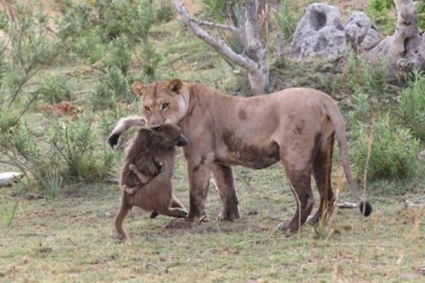 Θηλυκό λιοντάρι σκοτώνει μπαμπουίνο και ανακαλύπτει το μωρό του. Αυτό που ακολούθησε μετά είναι αξιοπερίεργο!