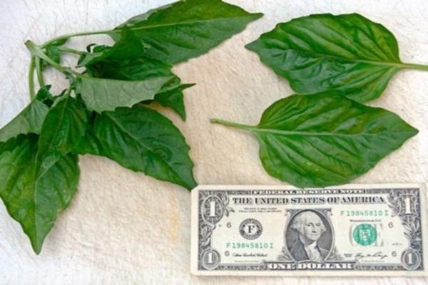 Το φυτό που μαγνητίζει χρήματα και έρωτα - Αγοράστε το άμεσα