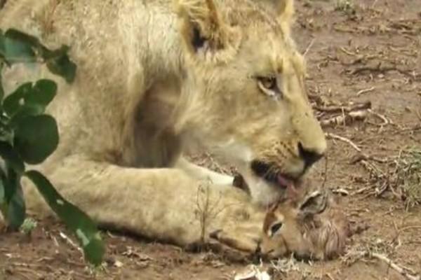 Θηλυκό λιοντάρι αιχμαλωτίζει ένα μικρό ελαφάκι και...Η συνέχεια κόβει την ανάσα