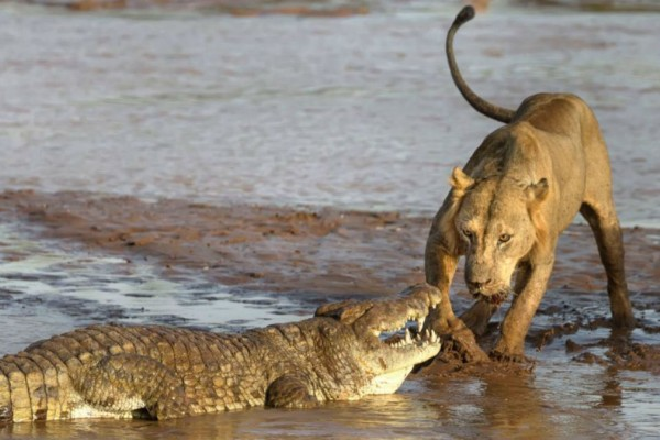 Αυτό το λιοντάρι συνάντησε έναν κροκόδειλο στην άκρη του ποταμού - Μόλις δείτε τι ακολούθησε θα σοκαριστείτε!