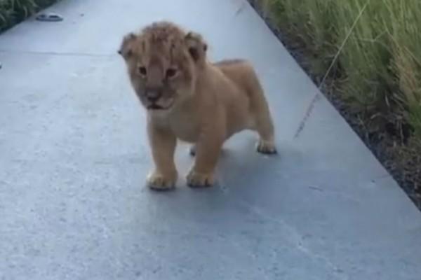 Μικρό λιοντάρι προσπαθεί να πουλήσει αγριάδα αλλά...Θα