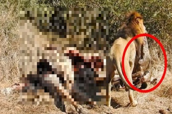 Λιοντάρια σκοτώνουν έγκυο καμηλοπάρδαλη και κατασπαράσσουν το μωρό της (Video-Σκληρές εικόνες)