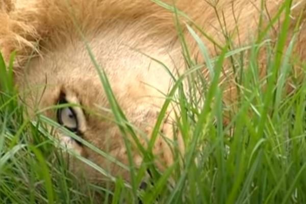 Ανατριχιαστικό: Λιοντάρι επιτίθεται στον 67χρονο άνδρα που το μεγάλωσε!