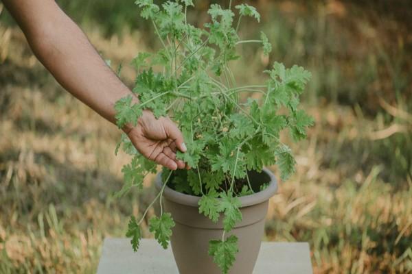 Αρμπαρόριζα: Το φυτό που θα σας σώσει από τις βασανιστικές ημικρανίες
