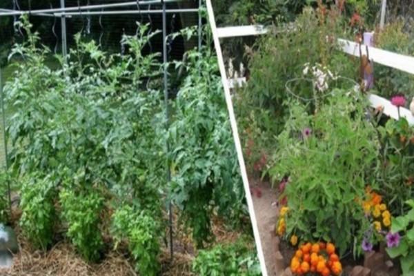 Δίπλα στις ντομάτες φυτέψτε αυτά τα φυτά - Βελτιώνουν τη γεύση και προστατεύουν από...