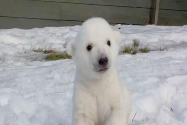 Αυτό το μικρό πολικό αρκουδάκι έχασε τη μαμά του όταν ήταν 6 ημερών - Αυτό που έγινε στη συνέχεια μας έκανε να δακρύσουμε