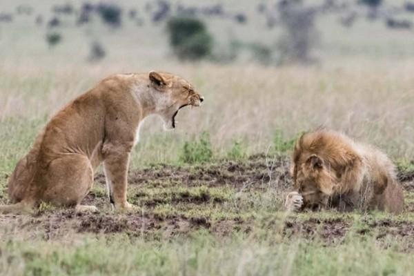 Λέαινα αρχίζει να ουρλιάζει σε αρσενικό λιοντάρι: Δευτερόλεπτα μετά εκείνο κάνει κάτι που ούτε φαντάζεσαι