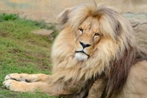 Αυτό είναι το πιο περιποιημένο λιοντάρι που είδατε ποτέ - Τι είναι αυτό που το κάνει τόσο αξιολάτρευτο;