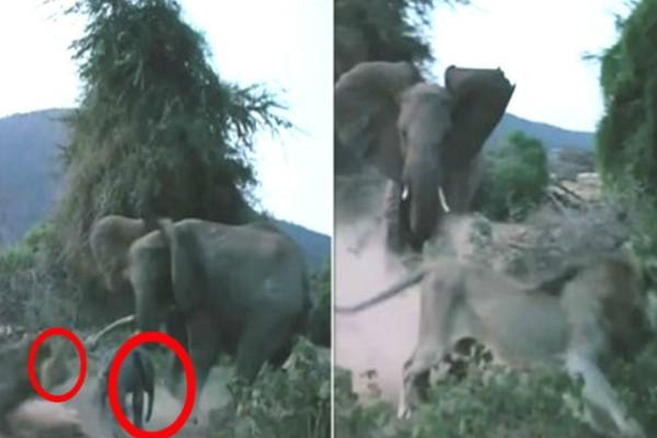 Λιοντάρι ορμάει σε ένα μωρό ελέφαντα. Η αντίδραση της μητέρας του θα σας κάνει να ανατριχιάσετε
