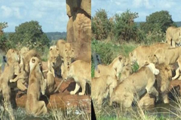 9 Λιονταρίνες επιτέθηκαν στον αρχηγό της αγέλης τους για να τον σκοτώσουν