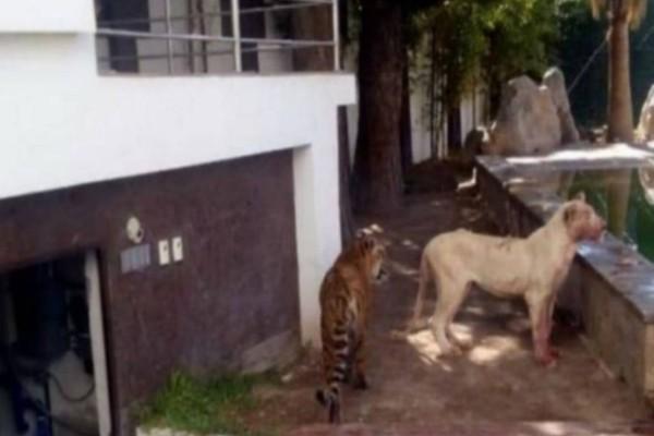 2 Κλέφτες μπήκαν στο Σπίτι: Μόλις τους είδε το λιοντάρι έγινε το… απίστευτο!