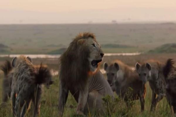 Τιτανομαχία ανάμεσα σε ένα λιοντάρι και 20 ύαινες που κόβει την ανάσα