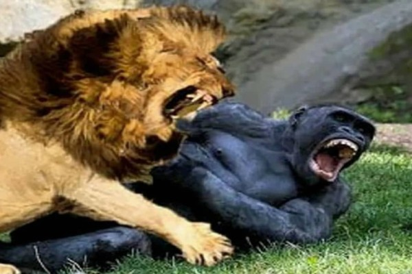 Επική τιτανομαχία ανάμεσα σε ένα λιοντάρι κι ένα γορίλα - Ο νικητής είναι πραγματικά απρόσμενος