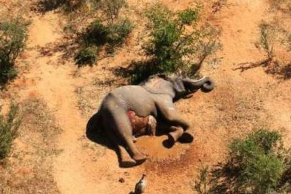 Εικόνες σοκ: Εκατοντάδες ελέφαντες νεκροί στην Αφρική από ανεξήγητο λόγο! (Video)
