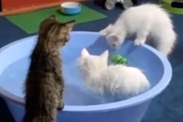 Αποφάσισε να κάνει μπάνιο στα 3 γατάκια του - Αυτό που διαπίστωσε μόλις τα έβαλε στο νερό τον έκανε να τα «χάσει» (Video)