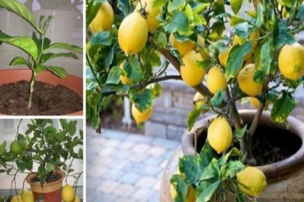 Φανταστικό: Πώς να μεγαλώσετε εύκολα μια λεμονιά από έναν μόνο σπόρο στο σπίτι σας!