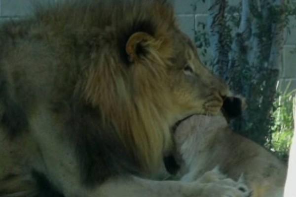 Ανατριχιαστικό: Αρσενικό λιοντάρι κατασπάραξε θηλυκό σε ζωολογικό κήπο
