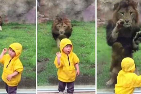 Λιοντάρι χύμηξε πάνω σε 2χρονο παιδάκι - Βίντεο-σοκ