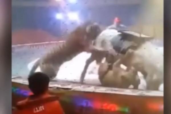 Λιοντάρι και τίγρης κατασπαράζουν ανήμπορο άλογο - Τρόμος σε τσίρκο (Video)