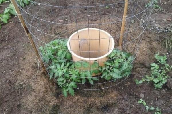 Καλλιεργήστε τις δικές σας ντομάτες ακόμη και στο μπαλκόνι σας - Χρειάζεστε ένα κουβά με νερό και...