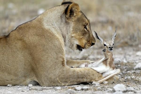 Θηλυκό λιοντάρι πιάνει μια μικρή αντιλόπη - Αυτό που κάνει στη συνέχεια...δεν το περίμενε κανείς