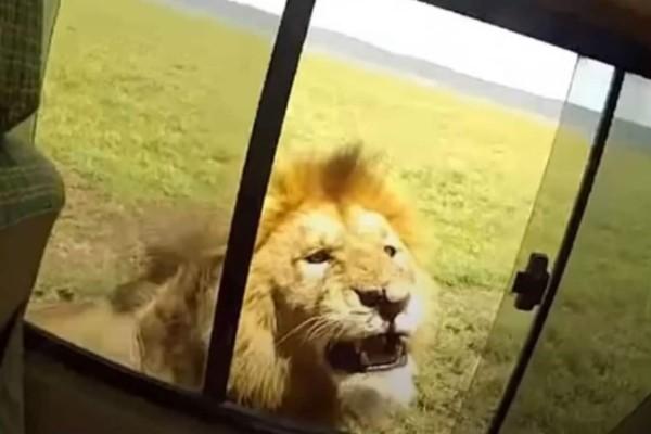 Άνοιξε το παράθυρο για να φωτογραφήσει ένα λιοντάρι - Αυτό που ακολούθησε θα σας κάνει να