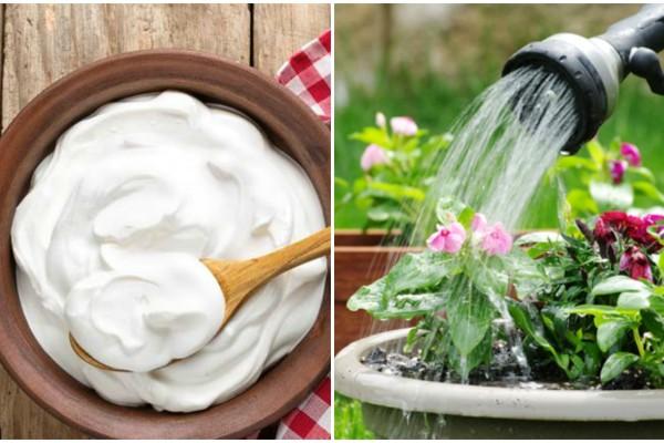 Διέλυσε γιαούρτι σε νερό και πότισε τα λουλούδια - Το αποτέλεσμα θα σας ενθουσιάσει