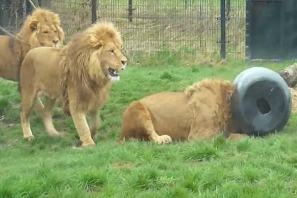 Αυτό το λιοντάρι έβαλε το κεφάλι του σε ένα βαρέλι - Αυτό που έγινε στη συνέχεια θα σας κάνει να
