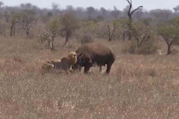 Το λιοντάρι αυτό κυνηγά ένα ρινόκερο - Αυτό που συμβαίνει...