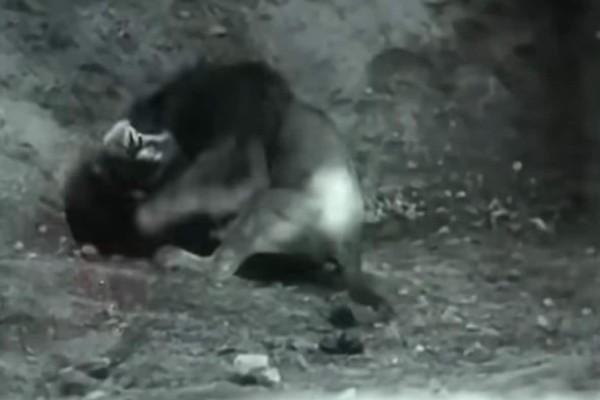 Η απόλυτη επική μάχη μεταξύ λιονταριού και τίγρης - Παλεύουν μέχρι θανάτου και...
