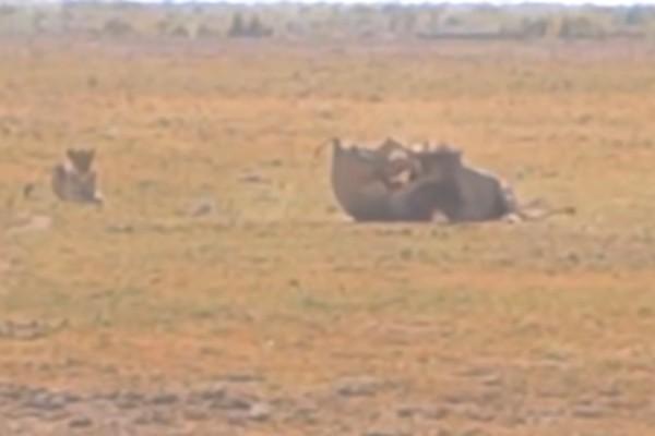 Η απόλυτη μάχη μέχρι θανάτου δύο αρσενικών λιονταριών για χάρη ενός θηλυκού - Στο τέλος...