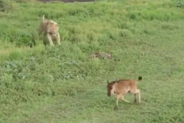 Λιοντάρι ετοιμάζεται να επιτεθεί, δευτερόλεπτα αργότερα όμως όταν ανοίγει το στόμα του... (Video)