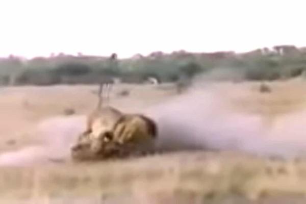 Σκληρές εικόνες: Λιοντάρι καταδιώκει και σκοτώνει την ύαινα με ένα μόνο δάγκωμα