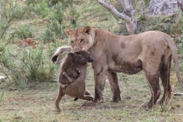 Θηλυκό λιοντάρι σκοτώνει μπαμπουίνο - Λίγα λεπτά μετά ανακαλύπτει το...