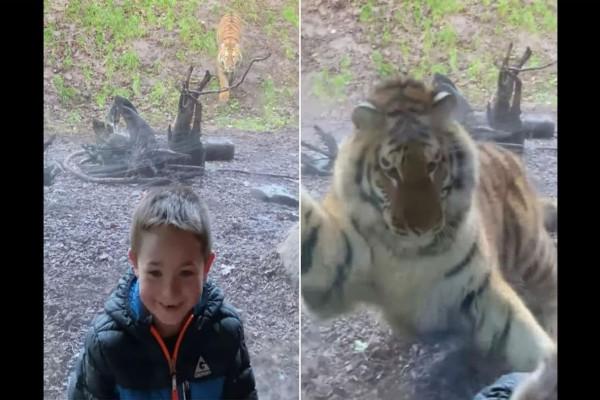 Αυτός ο μπόμπιρας παρακολουθούσε μια τίγρη στο κλουβί της όταν ξαφνικά...