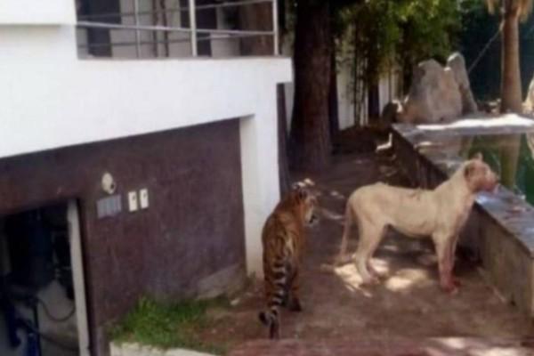 2 κλέφτες μπήκαν στο σπίτι - Μόλις τους είδε το λιοντάρι έγινε το απίστευτο