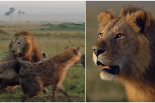 Βασιλιάς της Ζούγκλας: Λιοντάρι τα βάζει με 20 ύαινες και... - Η συνέχεια κόβει την ανάσα