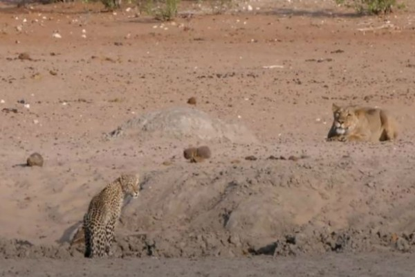 Αυτή η λεοπάρδαλη παρατήρησε δίπλα της ένα λιοντάρι - Αυτό που ακολούθησε δεν έχει προηγούμενο