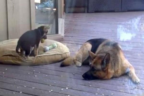 Κουτάβι αρνείται να πάει για ύπνο - Η αντίδραση της μαμάς του; Απίστευτη! (Video)