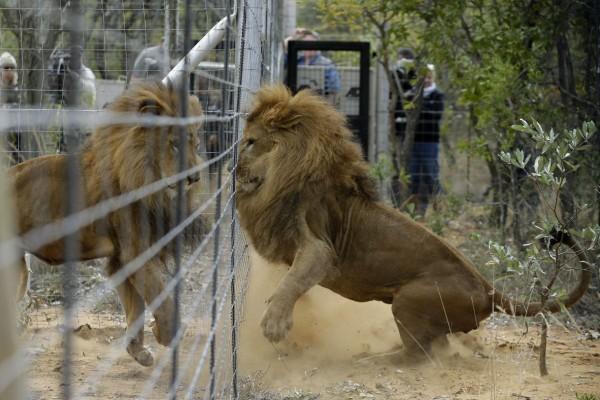 Άφησαν ελεύθερα στη φύση αυτά τα 4 λιοντάρια - Μόλις δείτε την αντίδρασή τους θα πάθετε σοκ