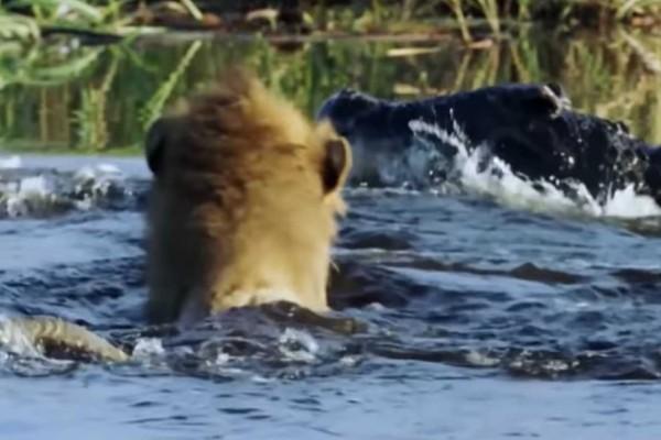 Κροκόδειλος δε «μασάει» και τα βάζει με δύο λιοντάρια - Αυτό που γίνεται στη συνέχεια