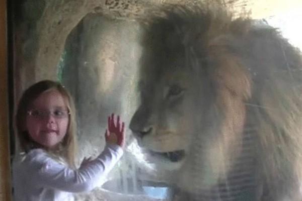 5χρόνο στέλνει ένα φιλάκι στο λιοντάρι - Αυτό που θα ακολουθήσει όμως έκανε τον πατέρα της να αρπάξει την κάμερα (Video)