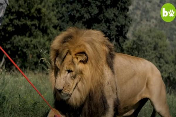 23χρονος σημαδεύει με κοντάρι ένα λιοντάρι: Το βίντεο με τις 9.000.000 προβολές στο διαδίκτυο!